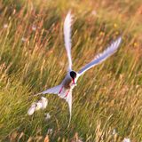 Arctic tern with a fish - Warm evening sun. Common bird in Iceland stock images