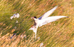 Arctic tern with a fish - Warm evening sun. Common bird in Iceland royalty free stock image
