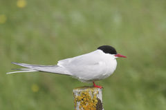 Arctic Tern, Flatey Island, Iceland. An arctic tern in summer plumage resting on a fence post Stock Photos
