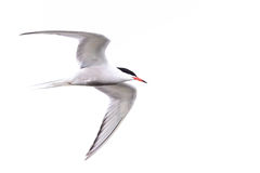 Tern In Flight. A Common Tern (similar to the arctic Tern) in flight, with white sky on an overcast day, very clear makings and orange beak. Photograph taken at Stock Photos