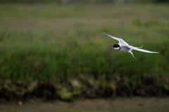 Arctic Tern in flight Stock Photos