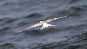 Arctic tern in flight Royalty Free Stock Image