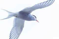 Arctic Tern Stock Photos