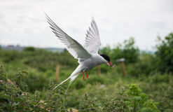 Arctic tern in flight on Farne Island, Northumberland, England Stock Image