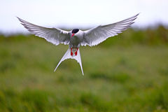 Arctic Tern in flight Stock Images