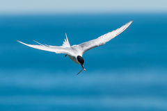 Arctic Tern. In Flight with Fish stock photography