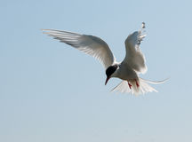 Arctic Tern in flight Royalty Free Stock Photos