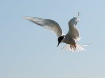 Arctic Tern in flight Royalty Free Stock Photos