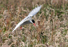 Arctic Tern in flight Royalty Free Stock Photo