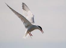 Arctic Tern in flight Royalty Free Stock Image