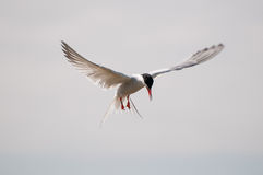 Arctic Tern in flight Royalty Free Stock Photography