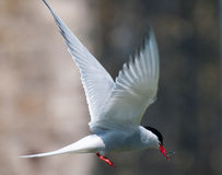 Arctic Tern in flight with sand eel Royalty Free Stock Images
