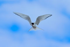 Arctic Tern in flight, Sterna paradisaea, white bird with black cap, blue sky with white clouds in background, Svalbard, Norway Royalty Free Stock Photo