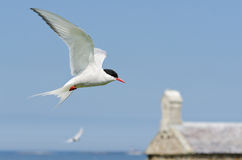 Arctic Tern in flight Stock Image