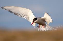 Arctic Tern. Flying over Reykjavik during the sommertime Stock Image