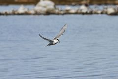 Arctic tern flying over water with wings outstretched. Arctic tern Sterna Paradisaea flying over water with wings outstretched royalty free stock image