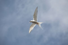 Arctic tern flying - Spitsbergen Stock Photo