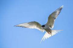 Arctic tern flying Stock Images