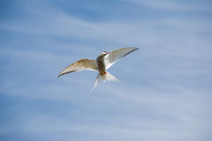 Arctic tern flying - Svalbard Stock Photo