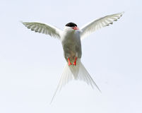 Arctic Tern hovering Royalty Free Stock Photos