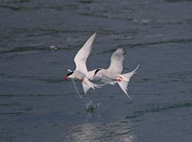 Arctic Tern. At Jokulsarlon Glacier Lagoon,Iceland royalty free stock image
