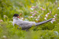 Arctic Tern looking Royalty Free Stock Images