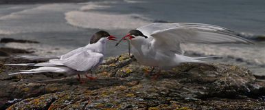 Arctic Tern with Offering Stock Photo