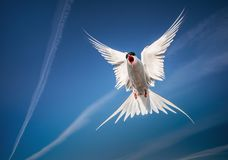 Arctic tern flying in the sky. Arctic tern with outspread wings flying in the sky - looking like an angel stock photo
