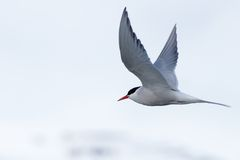 Arctic tern with outspread wings over iceberg Royalty Free Stock Photography