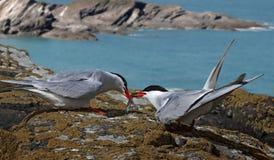 Arctic Tern receiving Catch Stock Images