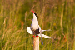 Arctic tern resting, warm evening sunlight. Common bird in Iceland stock image