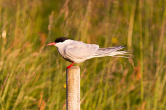 Arctic tern resting, warm evening sunlight. Common bird in Iceland royalty free stock images