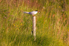 Arctic tern resting, warm evening sunlight. Common bird in Iceland stock images