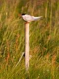Arctic tern resting, warm evening sunlight. Common bird in Iceland royalty free stock photo