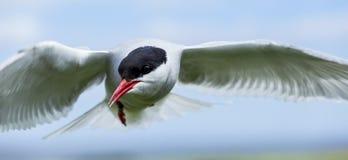 Arctic tern. Sea bird on the Farne Islands, Northumberland, England, UK Stock Image