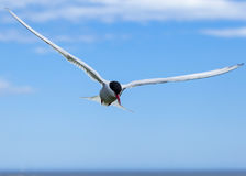 Arctic tern. Sea bird on the Farne Islands, Northumberland, England, UK Royalty Free Stock Images