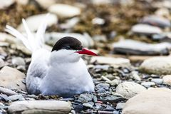Arctic Tern standing near her nest protecting her egg from predators Royalty Free Stock Photos