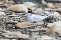 Arctic Tern standing near her nest protecting her egg from predators Royalty Free Stock Photography