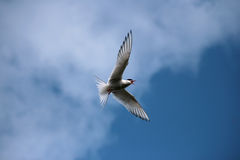 Arctic tern (Sterna paradisaea) Royalty Free Stock Photo