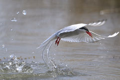 Arctic tern, sterna paradisaea royalty free stock photos