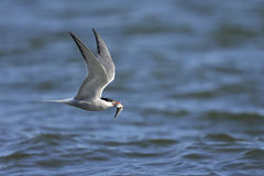 Arctic tern, sterna paradisaea Royalty Free Stock Photography