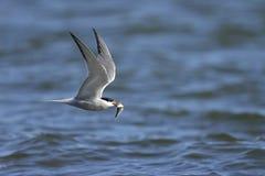 Arctic tern, sterna paradisaea Royalty Free Stock Photography