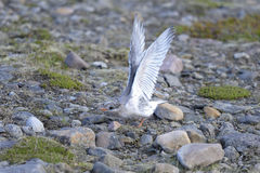 Arctic tern, sterna paradisaea Royalty Free Stock Images