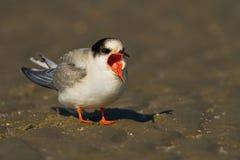 Arctic tern ( Sterna paradisaea ) Stock Images