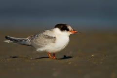 Arctic tern ( Sterna paradisaea ) Royalty Free Stock Images
