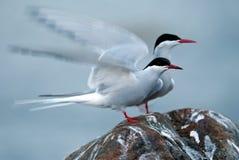 Arctic tern (Sterna paradisaea) Stock Image
