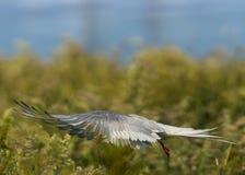 Arctic Tern / sterna paradisaea Stock Images