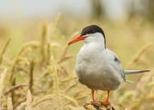 Arctic Tern / sterna paradisaea Stock Photography