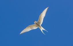 Free Arctic Tern - Sterna Paradisaea Royalty Free Stock Image - 42331766