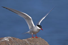 Arctic tern, sterna paradisaea Royalty Free Stock Photo